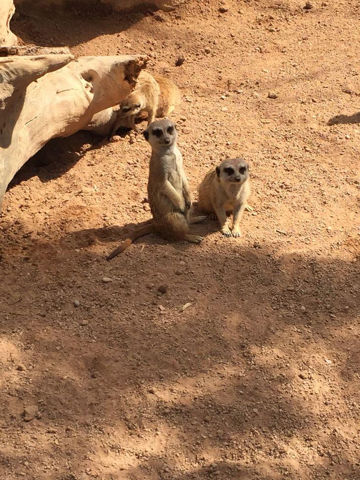 The Entertaining Meerkats
