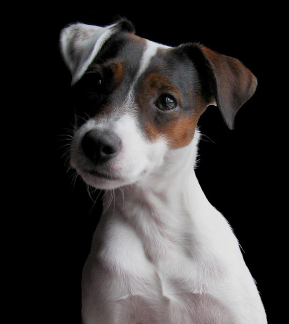 <3 Jack Russell Terriers!