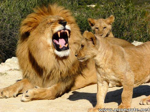 Dimanche 10 août 2014 journée mondiale du Lion à la Réserve Africaine de Sigean