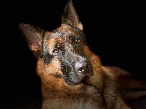 Labrador Retriever German Shepard Labrador Retriever German
