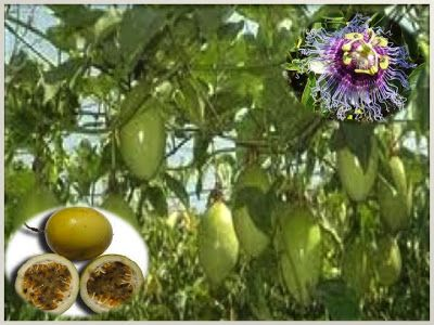 Passion Fruit Tree Dominican Republic Pinterest