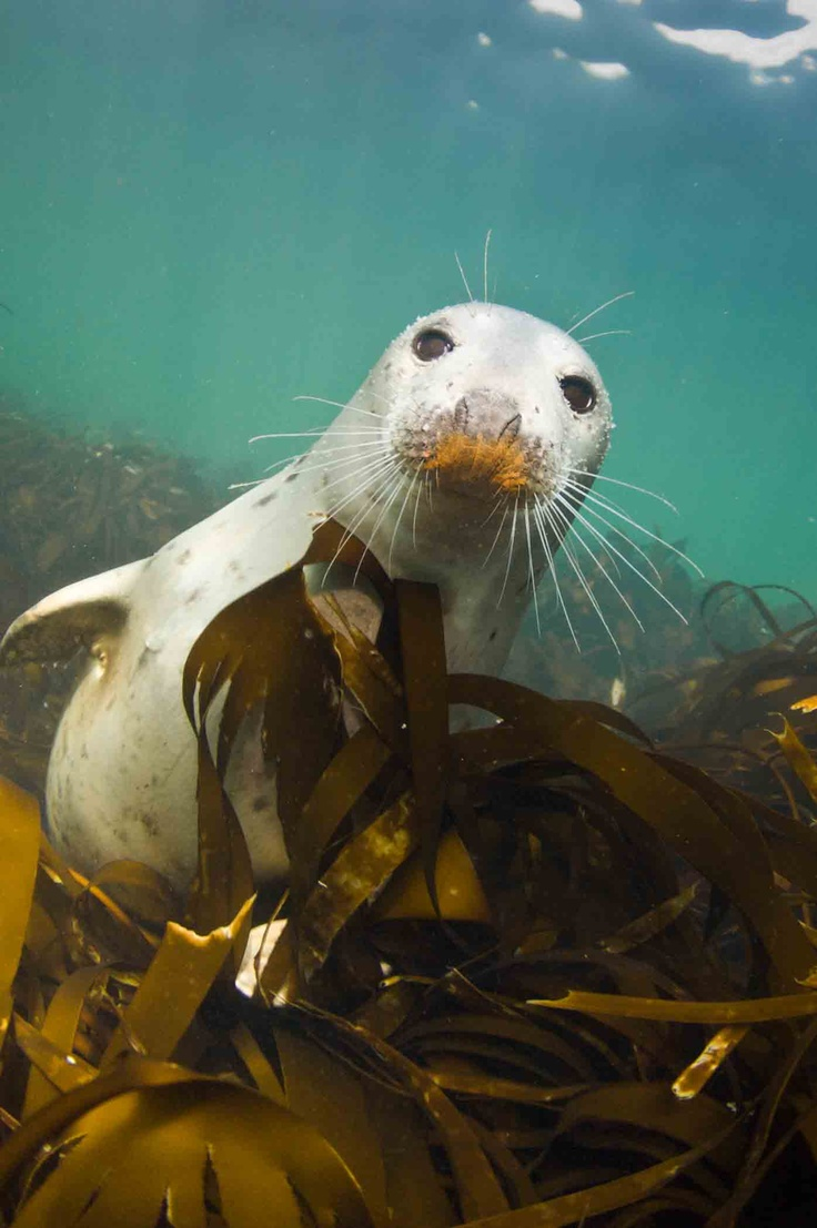 114 best seals images on pinterest sea lions seals and adorable