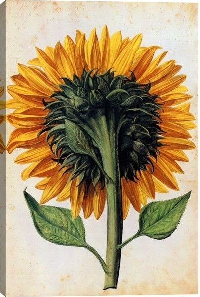 Sunflower Floral Canvas Wall Art Print by Unknown