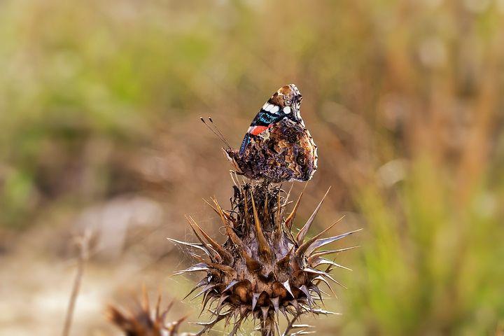 VANESSA ATALANTA - Nymphalidae Family