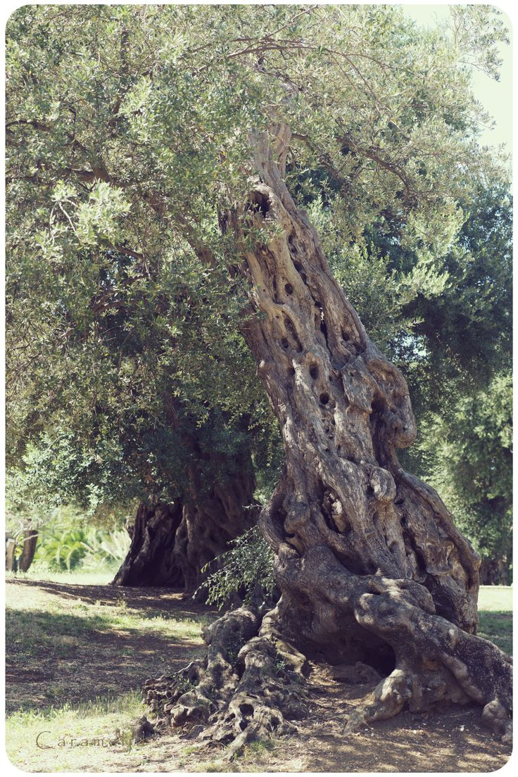 Oliven Olivenbaum