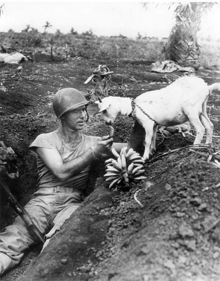 Solider sharing banana with a goat during the battle of Saipan ca. 1944