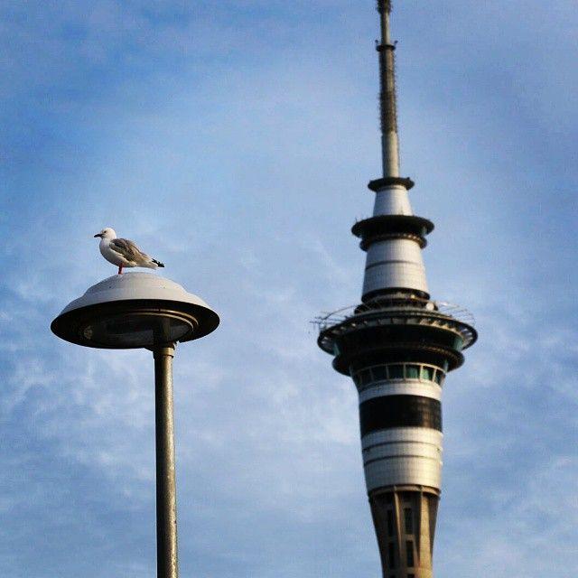 Sky Tower  and Red-billed gull <Auckland, New Zealand> スカイタワーとアカハシギンカモメ <ニュージーランド オークランド> #newzealand #auckland #skytower #redbilledgull #gull #birds #ニュージーランド #オークランド #カモメ #スカイタワー