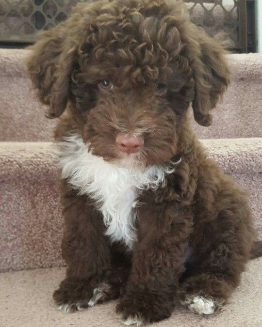 Murphy, a Cute Little Baby Lagotto Romagnolo Puppy