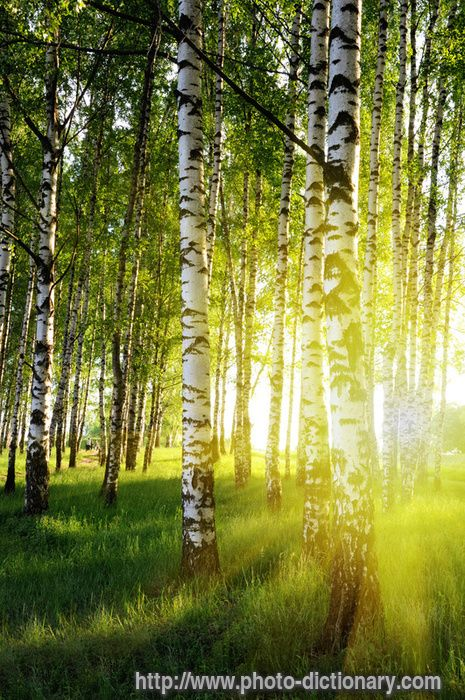birch forest - photo/picture definition - birch forest word and phrase image