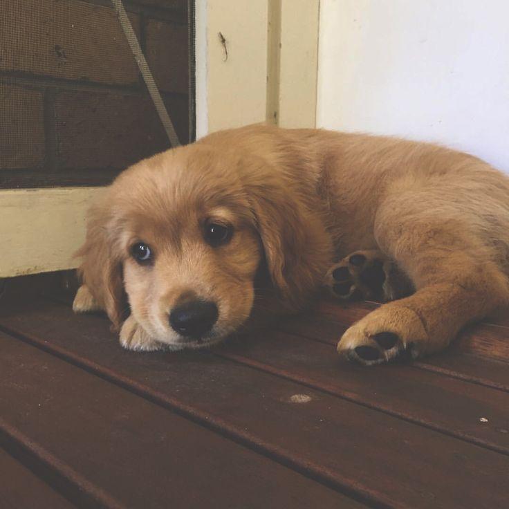 Golden Retriever Puppy Price In Delhi Ideas
