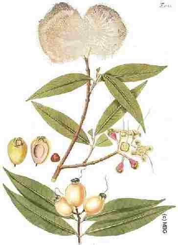 syzygium jambos alston | Myrtaceae Syzygium jambos (L.) Alston