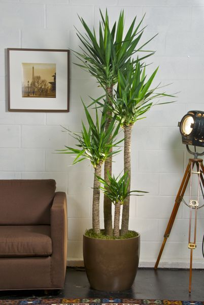 Incorporate Plants Into Your Living Room Decorating Ideas-A statement plant
