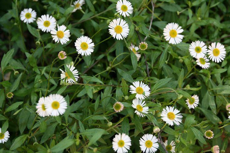 vignette design: White Flowers