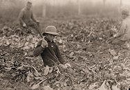 """Twelve-year-old Lahnert boy topping beets. The father, mother, and two boys (9 and 12 yrs.) expect to make $700 in about 2 months time in the beet work. """"The boys can keep up with me all right, and all day long,"""" the father said. Begin at 6 a.m. and work until 6 p.m. with an hour off at noon. Fort Collins, Colorado."""