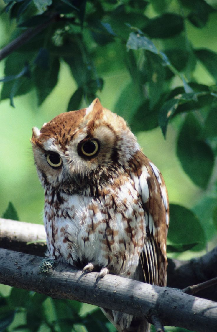 Eastern screech owl | Owl, Screech owl, Owl photos