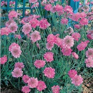Scabieuse Pink Mist Pour un jardin anglais Feuillage persistant, en massif