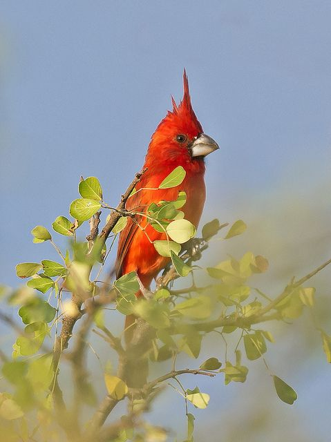 Cardinalis phoeniceus - Vermilion Cardinal - Cardenal de La Guajira - Cardenal Guajiro 02   Flickr - Photo Sharing!