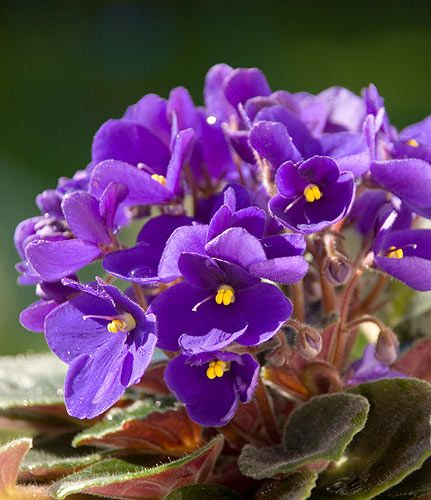 Spring Violets - Probably the best smelling flower of all time