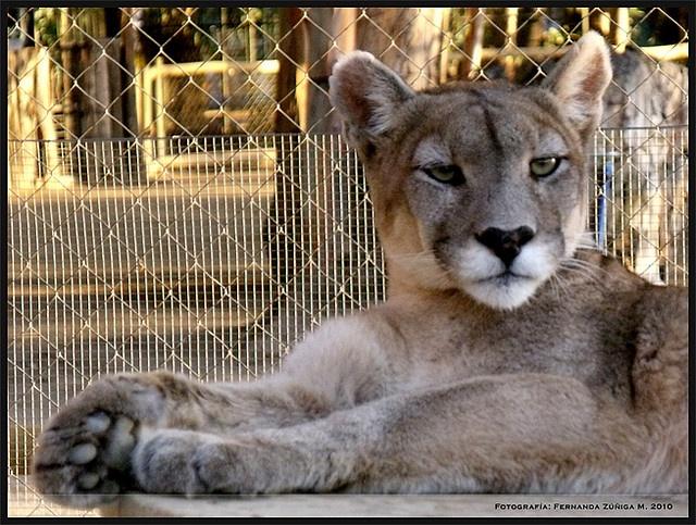 Puma by FeñyZ, via Flickr