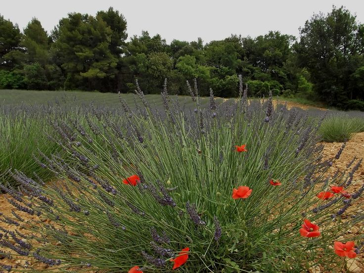 Lavender and poppies, Valensole, France. 19.6.2012