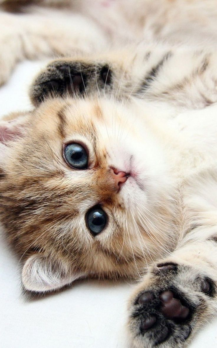 Animals iPhone 6 Plus Wallpapers - Cute Kitten Blue Eyes iPhone 6 Plus HD Wallpaper #iPhone #6 #Plus #Wallpapers #Animals #Cat #Kitten