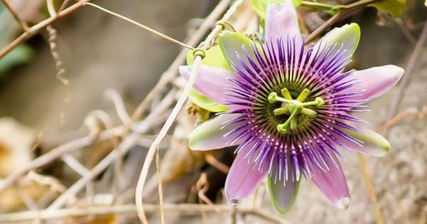 La passiflora o pasionaria es un flor exótica espectacular, ENTRE PLANTAS Y MACETAS nos lo cuenta todo sobre ella y sus cuidados.