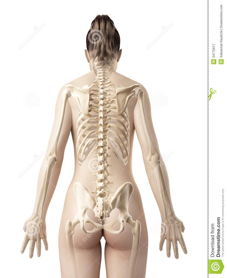 Female Skeleton From Behind - Download From Over 26 Million High Quality Stock Photos, Images, Vectors. Sign up for FREE today. Image: 34775617
