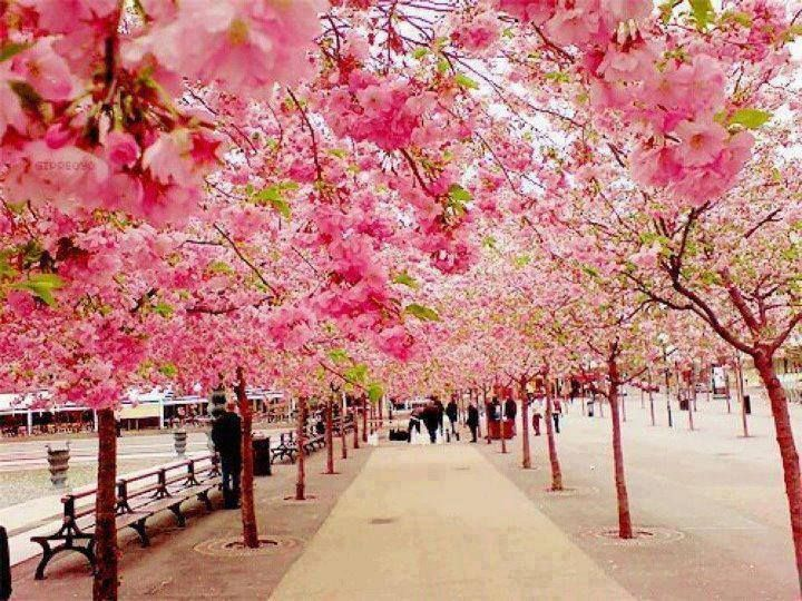 Cherry Blossom walk - Japan