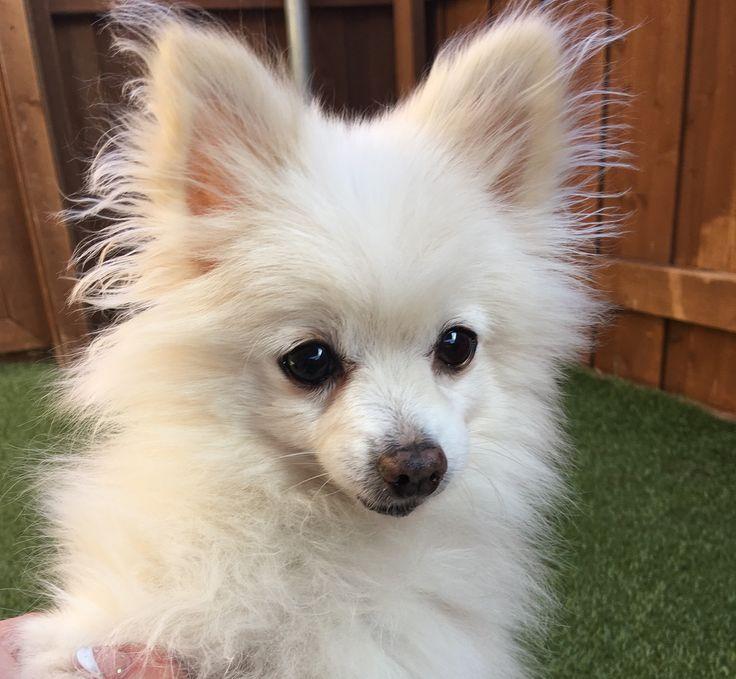 Pomeranian dog for Adoption in Garland, TX. ADN-745725 on PuppyFinder.com Gender: Male. Age: Adult