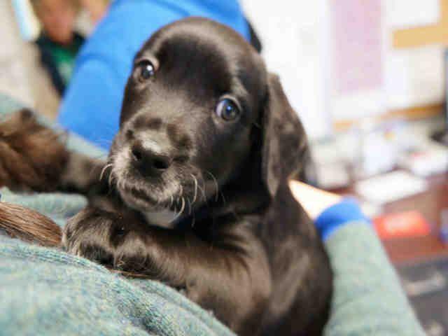 Mastador dog for Adoption in Norfolk, VA. ADN-780288 on PuppyFinder.com Gender: Male. Age: Baby