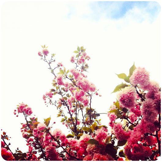 //: Cherries Blossoms, Spring Fling, Bloom Branches, Flowers Power, Beautiful Flowers, Cloud, Apple Blossoms, Apples Blossoms, Cherry Blossoms
