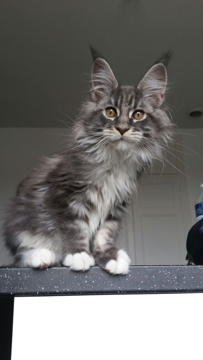 So adorable #mainecoon