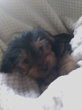 Litter of 5 Shorkie Tzu-Yorkshire Terrier Mix puppies for sale in BELLEVILLE, PA. ADN-67775 on PuppyFinder.com Gender: Male. Age: 7 Weeks Old