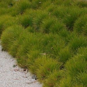 Lomandra confertifolia  A hardy Australian native with a mounding habit and cream flower spikes in spring.  It is suitable for a full sun to part shade position, in most soil types. Ideal for borders and edging.  Responds well to a prune in early autumn.