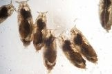 Fruit Flies Medicate Offspring with Alcohol to give them an edge from wasps