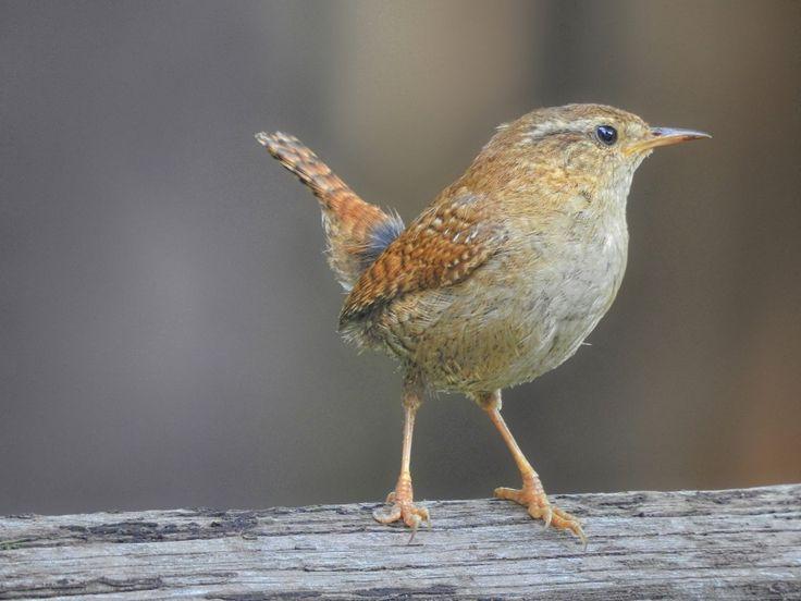 Ich bin der (Zaun-) König- Kleiner Vogel ganz groß könnte man meinen, denn der Zaunkönig zählt trotz seiner geringen Größe zu den lautesten und auffälligsten Vögeln der europäischen Vogelwelt.
