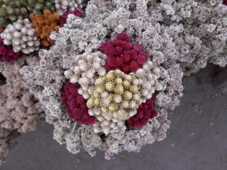Edelwais - Bunga Abadi, Gunung Merapi, Yogyakarta