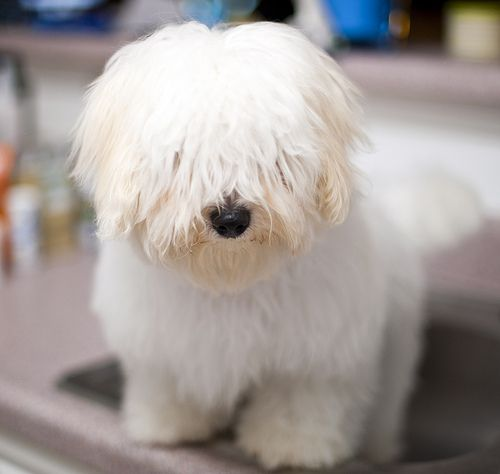 Coton de Tulear- This is what Miki and Bogey are SUPPOSED to look like!!  Ha!
