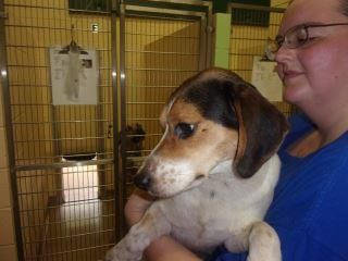 Meet Lady, an adoptable Beagle looking for a forever home. If you're looking for a new pet to adopt or want information on how to get involved with adoptable pets, Petfinder.com is a great resource.