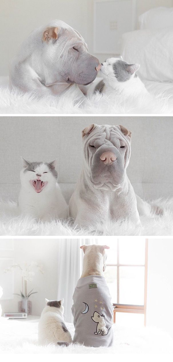 World's Most Photogenic Shar Pei and His Cat are the Best Friends Ever ---- TOO MUCH CUTENESS!!!!!!!!!!!!!