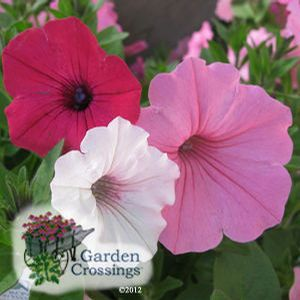 Buy Combination Above And Beyond Annuals Online. Garden Crossings Online  Garden Center Offers A Large