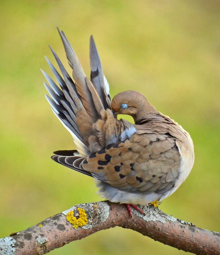 Mourning Dove by Normand Leduc