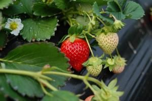 Many berry plants make good candidates for growing in containers. Here are some quick tips for growing popular berries in pots and small spaces. Strawberry Plants, Grow Strawberries, Beautiful Fruits, Grow Your Own, Lush, Mason Jars, Flora, Seeds, Vegetables