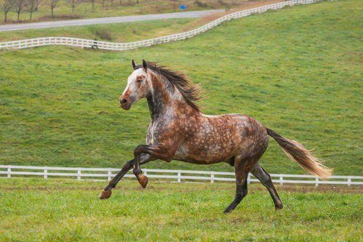 bay dappled grey horse galloping uphill horses