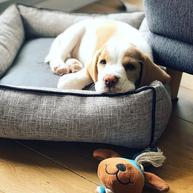 Pomme The Beagle Pommethebeagle Instagram Photos And Videos