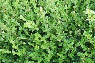Buxus microphylla Green Gem - PB5 (20/30)