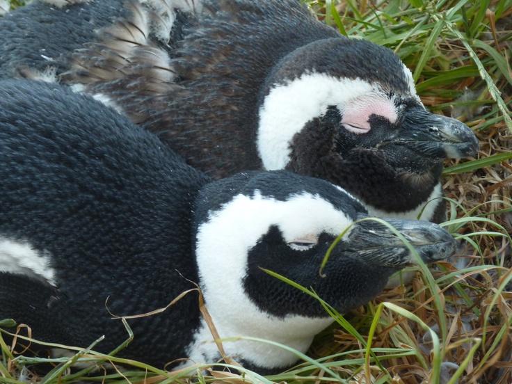 The Pinguins in Bolderbeach, Simonstown