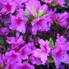 Azalea japonica Blue Danube - Flowering Evergreen Dwarf Rhododendron Plant