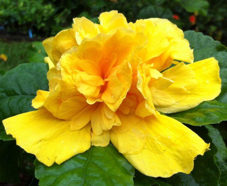 Double Yellow Hibiscus