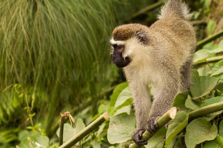 Prachtige apen gezien in Oeganda. Inclusief chimpansees. #photography #travelphotography #fotografie #canonnederland #canon_photos #panasonic #travelling #reizen #reisjournalist #travelwriter #fotoworkshop #willemlaros.nl #reisfotografie #tw #fb #compositie #natuurfotografie #nature #africa #fb #tw